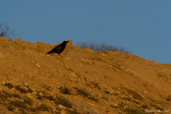 Grand Corbeau (Corvus corax) (adulte) (Pihourc, Lieoux (31), France, le 22/03/2019)