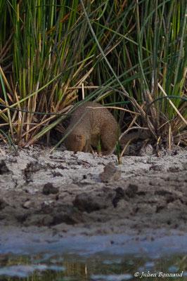 Mangouste indienne (Herpestes auropunctatus) (Bois Jolan, Saint-Anne, le 21/05/2016)