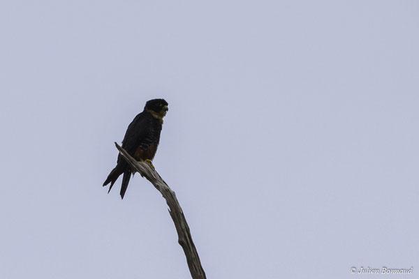 Faucon des chauves-souris (Falco rufigularis) (mine Espérance, Apatou, le 05/04/2017)