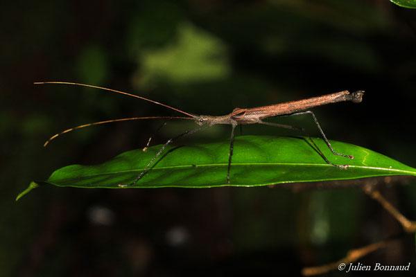 (Pseudophasma phthisica) (Massif du Dékou-Dékou, Saint-Laurent-du-Maroni, le 29/02/2016)