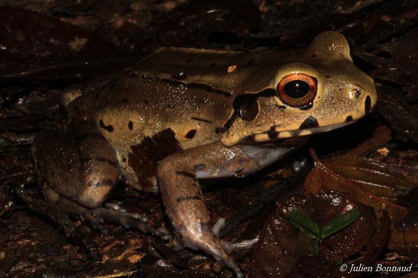 Leptodactyle étroit (Leptodactylus cf. stenodema) (Dékou-Dékou, Saint-Laurent-du-Maroni, le 29/02/2016)