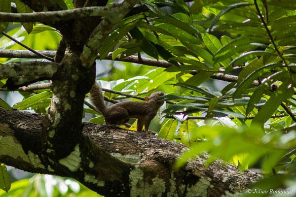 Ecureuil des Guyanes ou Grand Gélenngé (Guerlinguetus aestuans) (Larivot, Cayenne, le 24/06/2017)