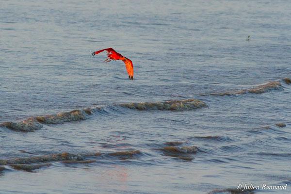 Ibis rouge (Eudocimus ruber) (adulte) (Plage des brésiliens, Remire-Montjoly,le 29/09/2016)