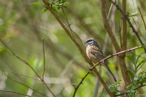 Bruant fou (Emberiza cia) (mâle en plumage nuptial) (Arlos (31), France, le 20/04/2018)