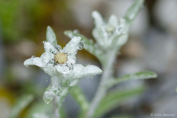 Edelweiss (Leontopodium nivale) (Station de ski de Gourette, Eaux Bonnes (65), France, le 15/06/2020)