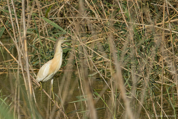 Crabier chevelu (Ardeola ralloides) (Parc national de Doñana, El Rocio (Andalousie), Espagne, le 04/08/2020)