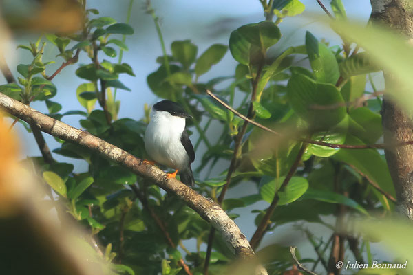 Manakin casse-noisette (Manacus manacus) (mâle, adulte) (Petit-Saut, le 07/07/2016)