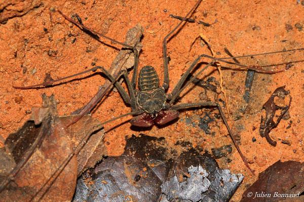 Amblypyge (Heterophrynus alces) (Montagne des Singes, Kourou, le 27/06/2015)