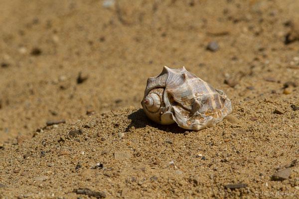 Melongena melongena (plage des Salines, Remire-Montjoly, 2017)