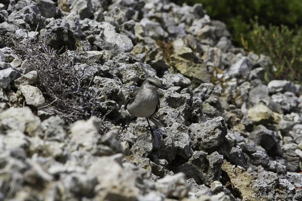 Moqueur des savanes (Mimus gilvus) (Pointe des Châteaux, le 24-05-2016)