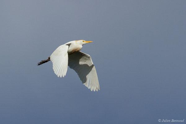Héron garde-boeufs (Bubulcus ibis) (adulte) (Saligue d'Artix (64), France, le 15/08/2019)
