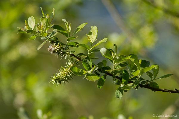 Saule marsault, Saule des chèvres (Salix caprea) (Saint-Pée-sur-Nivelle (64), France, le 12/04/2021)