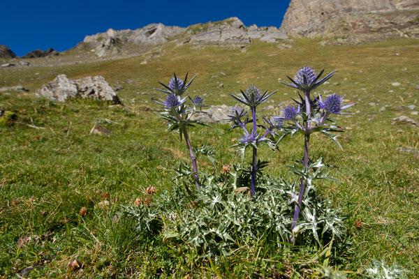 Panicaut de Bourgat (Eryngium bourgatii var. pyranaicum) (Lac d'Anglas, Gourette (64), France, le 30/09/2018)