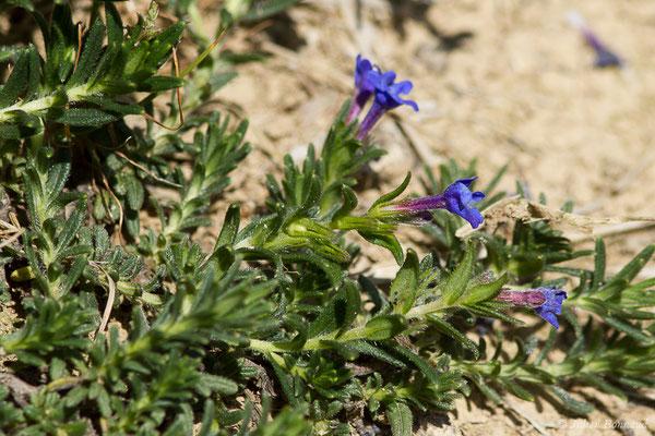 Grémil bleu-pourpre, Thé d'Europe (Aegonychon purpurocaeruleum) (Domaine d'Abbadia, Hendaye (64), France, le 14/04/2021)