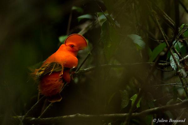 Coq-de-roche orange (Rupicola rupicola) (mâle adulte) (Kaw, Roura, le 30/10/2016)