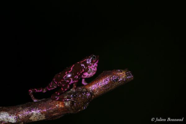 Atélope de Guyane (Atelopus flavescens) (Saint-Pierre, Saint-Laurent-du-Maroni, le 27/01/2017)