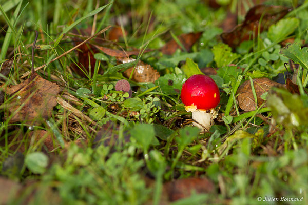 Amanite tue-mouches (Amanita muscaria) (Neulliac (56), France, le 12/12/2017)