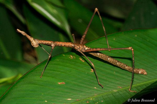 Prosopia scabra (femelle adulte) (sentier Vidal, Remire-Montjoly, le 25/07/2015)