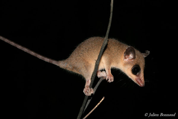 Opossum-souris murin (Marmosa murina)