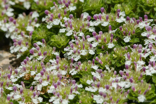Germandrée des Pyrénées (Teucrium pyrenaicum) (Etsaut (64), France, le 29/06/2019)