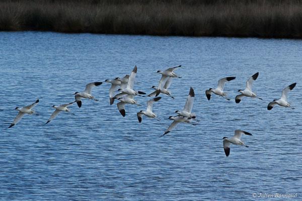 Avocettes élégantes (Recurvirostra avosetta) (réserve ornithologique du Teich (33), France, le 24/01/2018)