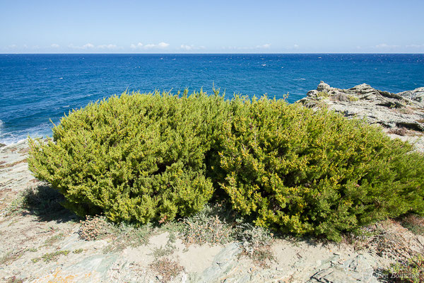 Genevrier de phoenicie (Juniperus phoenicea) (Sentier des douanier, Rogliano (2B), France, le 09/09/2019)