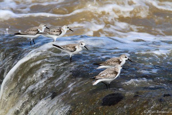 Bécasseau sanderling (Calidris alba) (adulte, plumage internuptial) (Pointe Buzaré, Cayenne, le 12/12/2015)