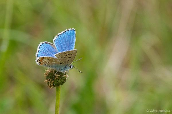 Azuré de la Bugrane, Argus bleu, Azuré d'Icare, Icare, Lycène Icare, Argus Icare (Polyommatus icarus) (Pihourc, Saint-Godens (31), France, le 16/05/2019)