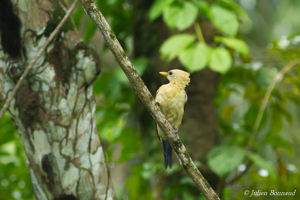 Pic jaune (Celeus flavus) (juvénile) (Iracoubo, le 12-07-2016)