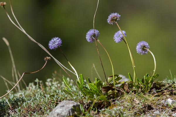 Globulaire à tiges nues (Globularia nudicaulis) (Etsaut (64), France, le 30/04/2019)