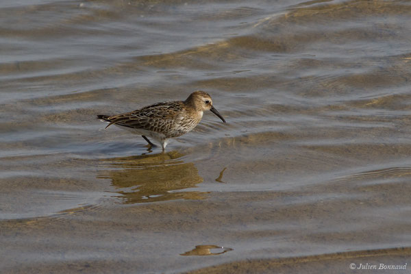 Bécasseau variable (Calidris alpina) (Ria Formosa (Faro), (Algarve), Portugal, le 01/09/2018)