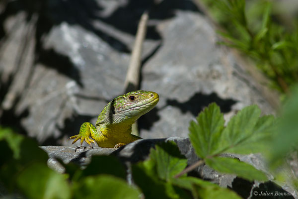 Lézard à deux bandes ou Lézard vert occidental (Lacerta bilineata) (Etsaut (64), France, le 30/04/2019)