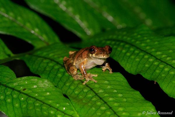 Rainette de Gaucher (Dendropsophus gaucheri) (Kaw, le 12/12/2014)