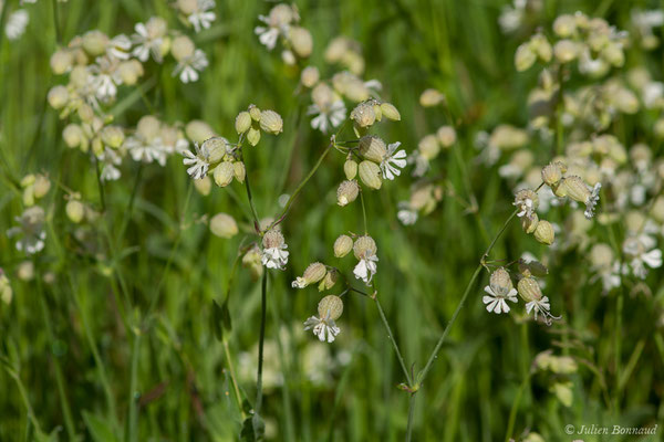 Silène commun (Silene vulgaris) (Cauteret (65), France, le 08/06/2017)