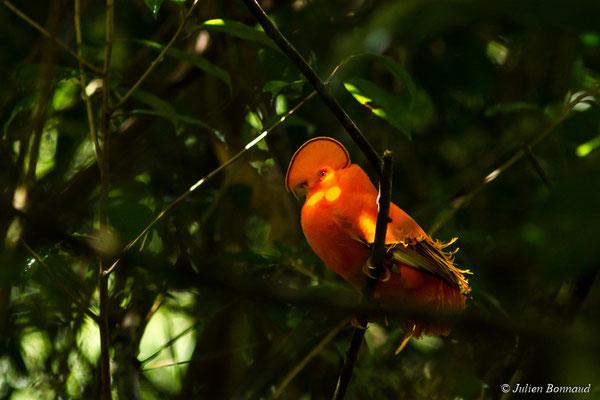 Coq-de-roche orange (Rupicola rupicola) (mâle adulte) (Kaw, Roura, le 26/09/2017)