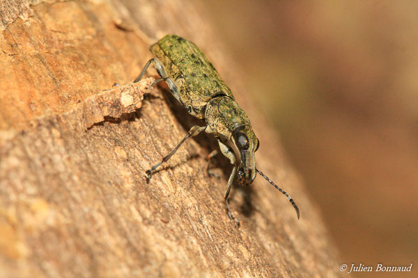 (Hypselotropis annulicornis) (Lycée Léon Gontran DAMAS, Remire-Montjoly, le 20/04/2015)