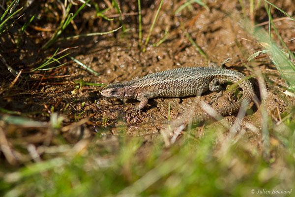 Lézard vivipare de Lantz – Zootoca vivipara louislantzi Arribas, 2009, (femelle gravide) (Col d'Aubisque, Béost (64), France, le 29/06/2019)
