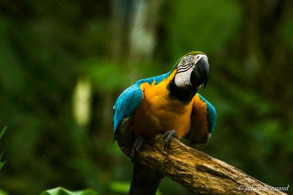 Ara bleu (Ara ararauna) (Zoo de Guyane, Montsinéry, le 14/08/2016)