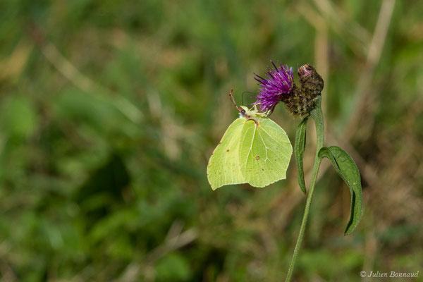 Citron (Gonepteryx rhamni) (Saint-Jouvent (87), France, le 29/06/2018)