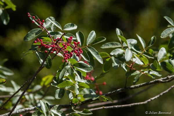 Pistachier térébinthe ou Térébinthe (Pistacia terebinthus) (Réserve naturelle du Pibeste, Agos-vidalos (65), France, le 17/10/2017)