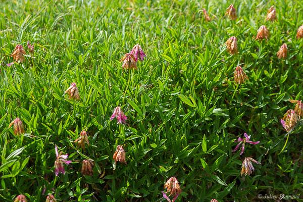 Trèfle des Alpes, Réglisse des montagnes (Trifolium alpinum) (lac d'Ayous, Laruns (64), France, le 13/07/2019)