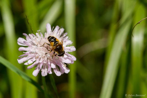 Eristalis horticola (Sers (65), le 20/06/2020)
