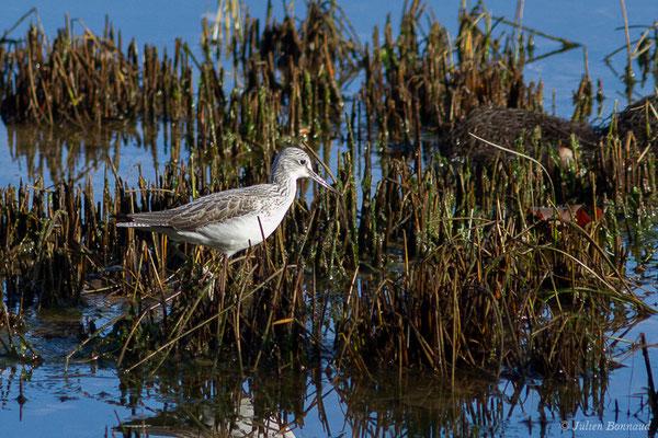 Chevalier aboyeur (Tringa nebularia) (adulte en plumage internuptial) (Parc écologique Plaiaundi, Irun, Espagne, le 20/12/2020)