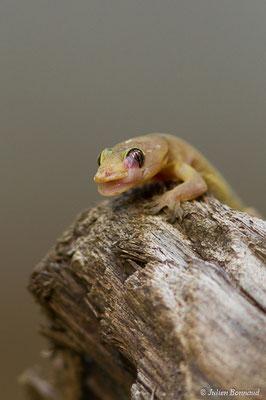 Gecko mutilé (Gehyra mutilata) (adulte) (Remire-montjoly, Guyane, le 23/03/2017)