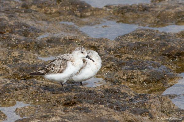 Bécasseau sanderling – Calidris alba (Pallas, 1764), (Lisbonne, Portugal, le 27/08/2018)