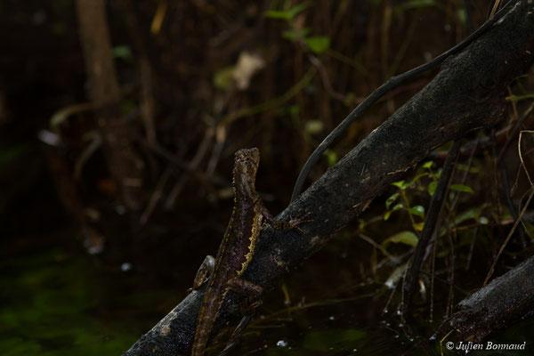 Lézard sourcilleux ou Uranoscodon (Uranoscodon superciliosus) (Montsinéry, le 19/04/2017)