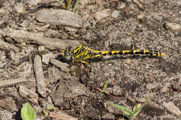 Gomphe à crochets – Onychogomphus uncatus (Charpentier, 1840), (femelle), (Arengosse (40), France, le 25/06/2021)