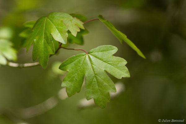 Érable champêtre (Acer campestre) (Etsaut (64), France, le 06/05/2019)