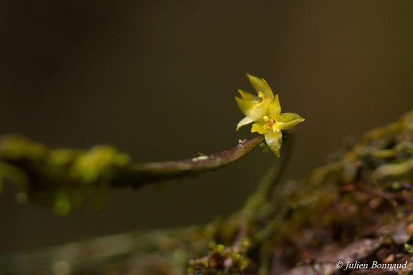 Octomeria surinamensis (Saint-Pierre, Saint-Laurent-du-Maroni, le 29/01/2017)