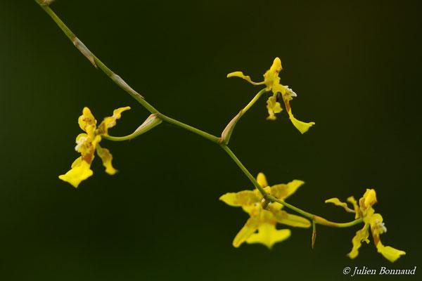 Oncidium baueri (Plante cultivée, Remire-Montjoly, le 10/02/2017)